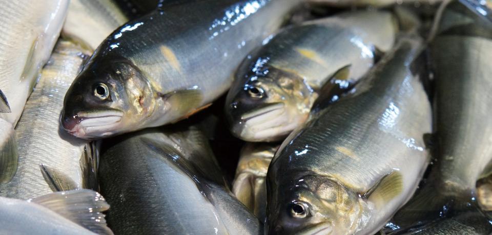 熊野水産の鮎は天然の地下水で養殖