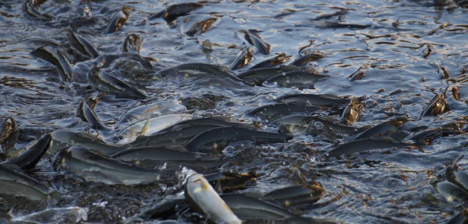 熊野水産の鮎は野鮎と同じスイカの香り